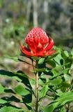 Australian Waratah (Telopea speciosissima) Stock Photo