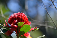 Australian Waratah under blue sky Royalty Free Stock Image