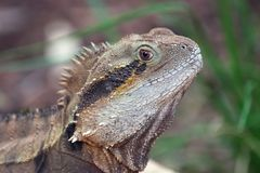 Australian Water Dragon 01 Stock Image
