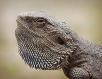 Australian Water Dragon. Side portrait of Australian Eastern Water Dragon Royalty Free Stock Image