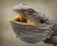 Australian Water Dragon. Side portrait of Australian Eastern Water Dragon with open mouth Royalty Free Stock Photography