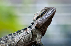 Australian Water Dragon. Close up profile image of Australian Water Dragon stock photo