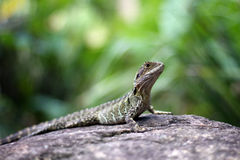 Australian Water Dragon royalty free stock images