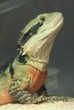 Australian Water Dragon Royalty Free Stock Photos
