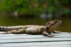 Australian Water Dragon Stock Images