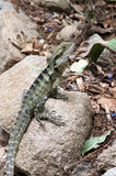 Australian Water Dragon Stock Image