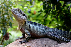 Australian Water Dragon Royalty Free Stock Photo