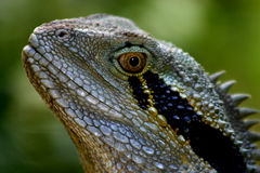 Australian Water Dragon Stock Photography
