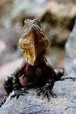 Australian Water Dragon. Taken at Mt Coot-tha Park in his own natural environment Royalty Free Stock Photo