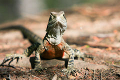 Australian Water Dragon, alert in the bush. Royalty Free Stock Photo