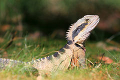 Australian Water Dragon, alert in the bush. Stock Photos