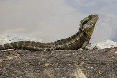 Australian Water Dragon Stock Photo