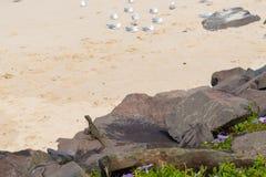 Australian water dragon Royalty Free Stock Photo