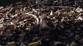 Australian water dragon in disguise of dried leaves. Subject in the center royalty free stock photos