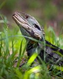 Australian water dragon Royalty Free Stock Photos