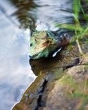 Australian water dragon Royalty Free Stock Image