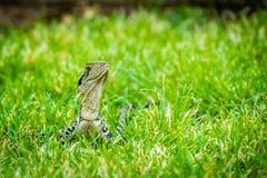 Australian water dragon Intellagama lesueurii in Brisbane royalty free stock photography