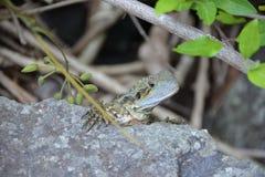 Australian Water Dragon. (Intellagama lesueurii) is a lizard native to Australia Stock Photo