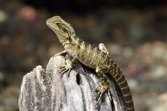 Australian water dragon (Intellagama lesueurii) Stock Photo