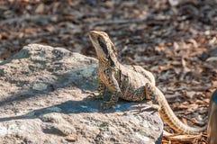 Australian Water Dragon lizard Physignathus lesueurii Stock Image
