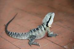 Australian Water Dragon Royalty Free Stock Image