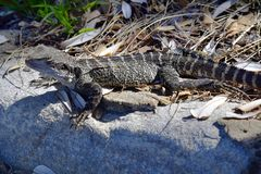 Australia, Zoology, Reptile. Australian water dragon in Manly Stock Photo