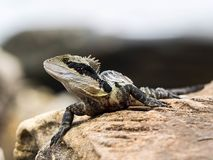 Australian Water Dragon at the Manly-Beach-Coast. A australian water dragon warming up at some hot stones in Australia stock photography