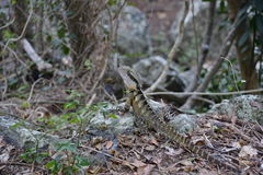 Australian Water Dragon in natural habitat. Full length view of Water Dragon lizard in natural habitat, native to Australia Stock Photo