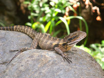 Australian Water Dragon (Physignathus lesueurii) Royalty Free Stock Images