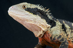 Australian water dragon / Physignathus lesueurii. The Australian water dragon is a big primitive looking lizard from the east coast of Australia Stock Photo