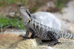 Australian water dragon (Physignathus lesueurii) Stock Photos