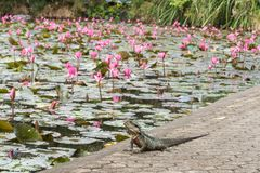 Australian water dragon. Physignathus , on side of pink water lilies pound animal background bearded body brown closeup color colorful copy space detail eye stock image