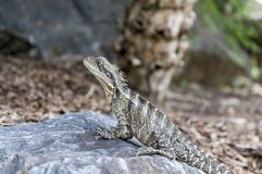 Australian water dragon sits on a rock, basking in the sun stock images