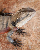 Australian Water Dragon Sitting on Rose Marble Royalty Free Stock Photos