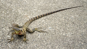 Australian Water Dragon Royalty Free Stock Photography