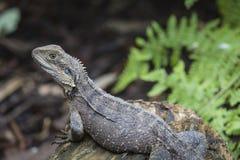 Australian Water Dragon Stock Photography