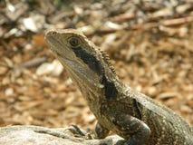 Australian Water Lizard Stock Image