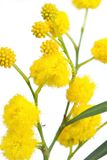 Australian Wattle Royalty Free Stock Photography