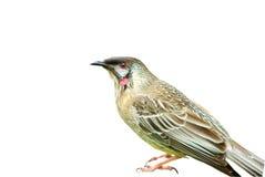 Australian wattle bird Stock Photography