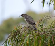 Australian Wattle Bird. A young Australian Wattle bird sitting in a bottle brush tree Stock Photo
