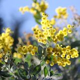 Australian Wattle in Bloom 1 Royalty Free Stock Images