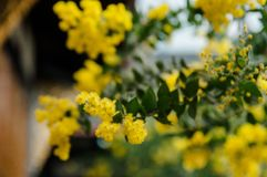 Blossoming of mimosa tree. Acacia podalyriifolia, yellow flowers in blooming. Australian Wattle in Bloom at spring time. Blossoming of mimosa tree. Superb bright royalty free stock photos