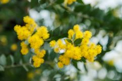 Blossoming of mimosa tree. Acacia podalyriifolia, yellow flowers in blooming. Australian Wattle in Bloom at spring time. Blossoming of mimosa tree. Superb bright royalty free stock image