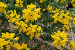Blossoming of mimosa tree. Acacia podalyriifolia, yellow flowers in blooming. Australian Wattle in Bloom at spring time. Blossoming of mimosa tree. Superb bright stock photos