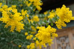 Blossoming of mimosa tree. Acacia podalyriifolia, yellow flowers in blooming. Australian Wattle in Bloom at spring time. Blossoming of mimosa tree. Superb bright stock images