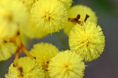 Australian Wattle Flower Royalty Free Stock Photo