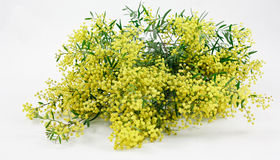 Australian wattle flower  Stock Photos