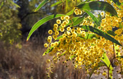 Australian wattle flowers. Bright yellow wattle flowers and leaves against natural background. Australian national emblem Royalty Free Stock Image