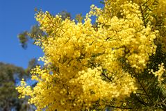 Australian wattle in spring with yellow flowering bloom. And blue sky background Sydney Australia Royalty Free Stock Photos