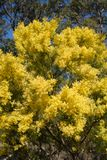 Australian wattle in spring with yellow flowering bloom. And blue sky background and gum trees in Sydney Australia Stock Photography